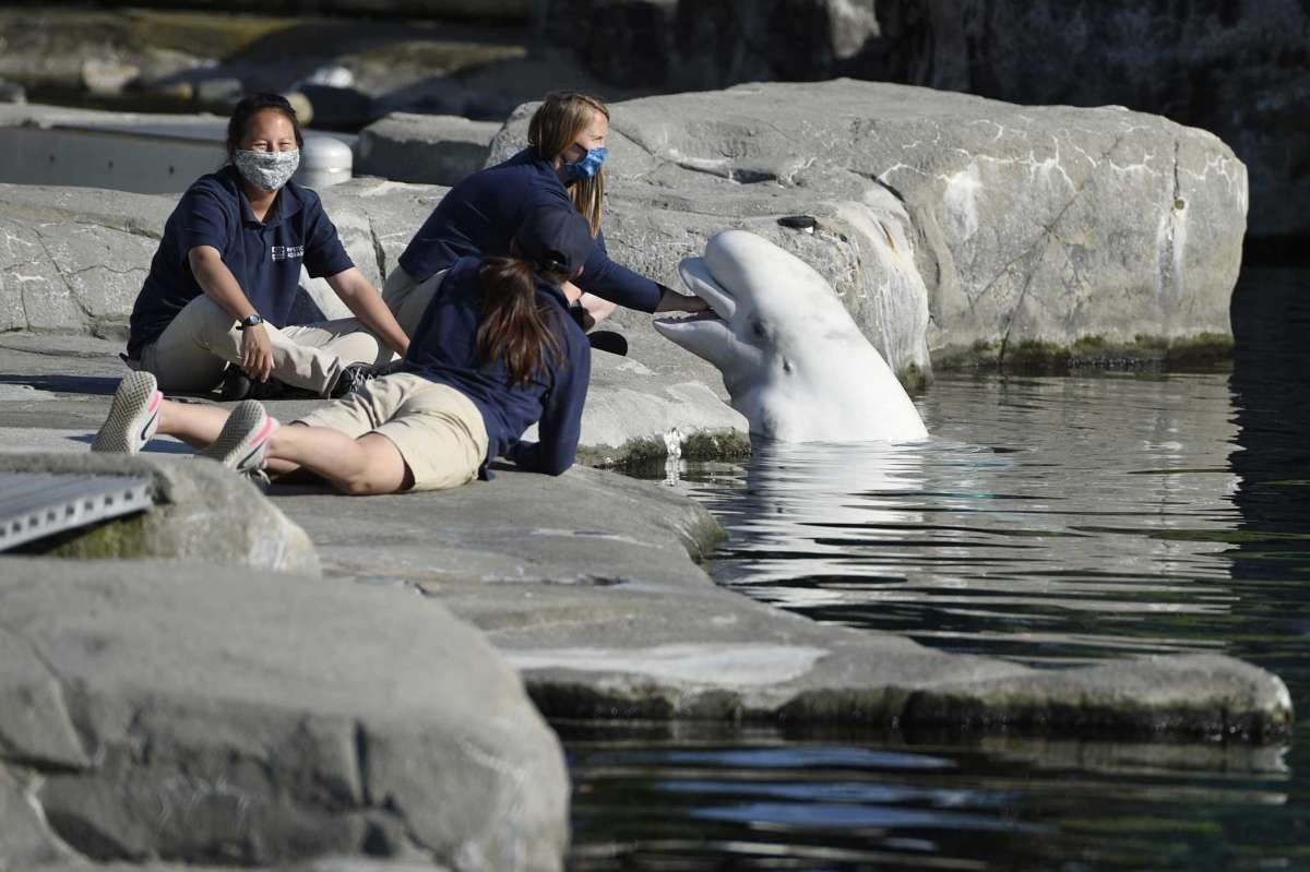 Mystic Aquarium trainers play with a Beluga whale, Friday, May 14, 2021, in Mystic, Conn. Three Beluga whales will arrive at the aquarium later Friday from Marineland in Niagara Falls, Ontario, Canada. The whales will be leaving an overcrowded habitat with about 50 other whales and will be at the center of important research designed to benefit Belugas in the wild.